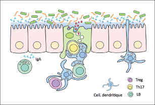 interactions étroites entre l'épithélium digestif, le microbiote et le système immunitaire muqueux.